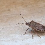 stink bug shield bug
