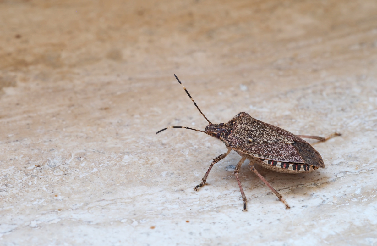 Stink bugs: How to Eliminate them