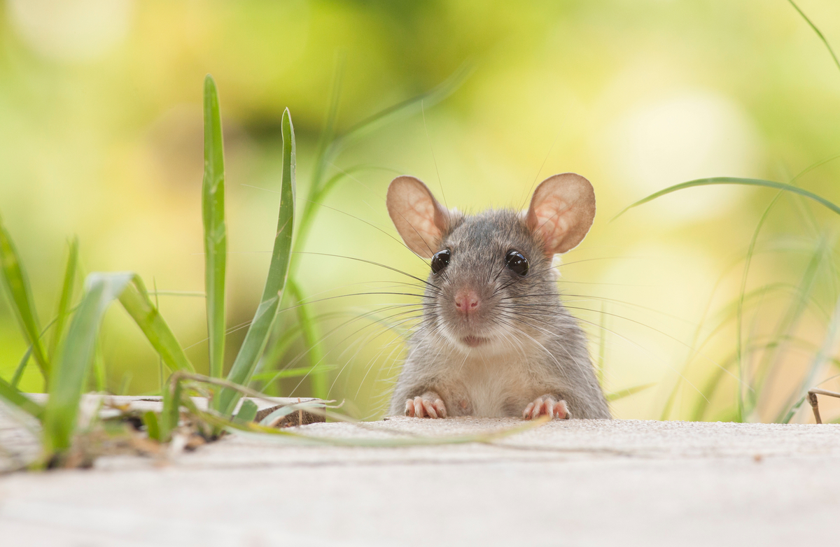 Keeping Mice out of your Home and Garage