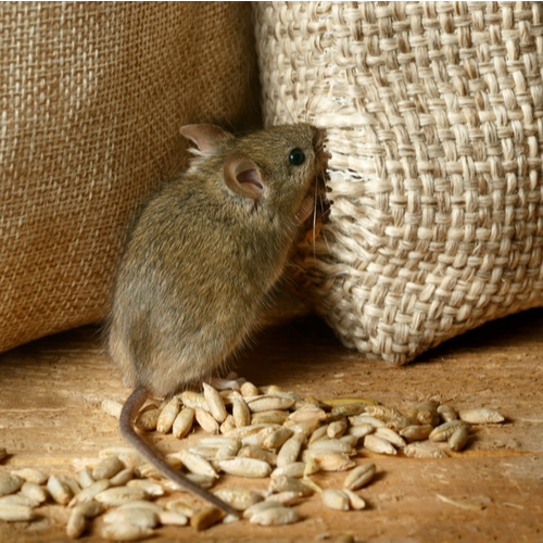 mouse in grain